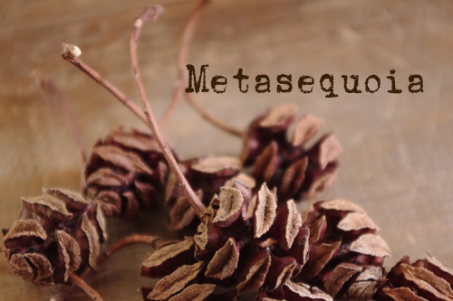 メタセコイアの木の実パック